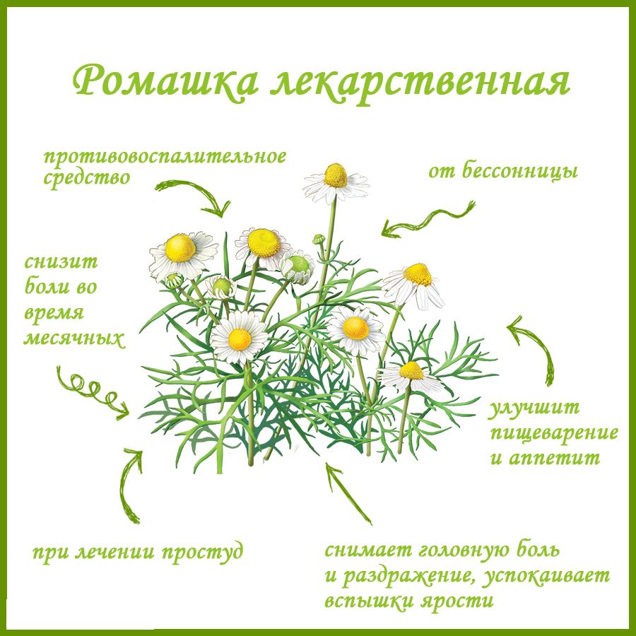 Ромашка лекарственная фото и описание виды